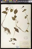view Achimenes pedunculata Benth. digital asset number 1
