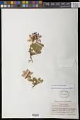 view Therorhodion camtschaticum (Pall.) Small digital asset number 1