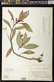 view Seemannia sylvatica (Kunth) Hanst. digital asset number 1