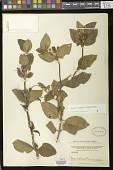 view Heppiella ulmifolia (Kunth) Hanst. digital asset number 1