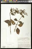 view Heppiella viscida (Lindl. &) Fritsch digital asset number 1