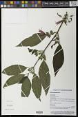 view Dicliptera samoensis Seem. digital asset number 1