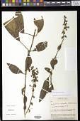 view Kohleria spicata (Kunth) Oerst. digital asset number 1