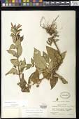view Kohleria tubiflora (Cav.) Hanst. digital asset number 1