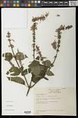 view Salvia iodantha Fernald digital asset number 1