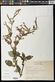 view Salvia fulgens Cav. digital asset number 1