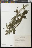 view Salvia fluviatilis Fernald digital asset number 1
