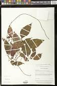 view Kohleria tigridia (Ohlend.) Roalson & Boggan digital asset number 1