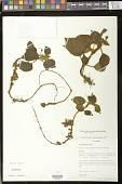 view Kohleria villosa (Fritsch) Wiehler var. villosa digital asset number 1