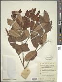 view Shorea angustifolia P.S. Ashton digital asset number 1