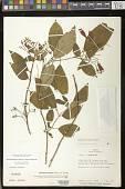 view Moussonia jaliscana (S. Watson) D.L. Denham ex Ram.-Roa digital asset number 1