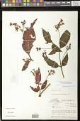 view Moussonia strigosa (C.V. Morton) Wiehler digital asset number 1