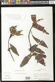 view Pearcea fuscicalyx L.P. Kvist & L.E. Skog digital asset number 1