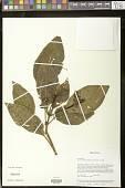 view Pearcea purpurea (Poepp.) L.P. Kvist & L.E. Skog digital asset number 1