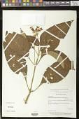view Pearcea reticulata (Fritsch) L.P. Kvist & L.E. Skog digital asset number 1