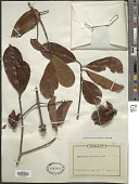 view Pentadesma butyracea Sabine digital asset number 1