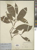 view Pachynocarpus sp. digital asset number 1