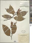 view Hopea bilitonensis P.S. Ashton digital asset number 1