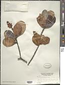 view Clusia pusilla subsp. orinocensis Maguire digital asset number 1