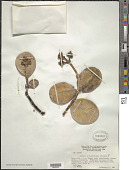 view Clusia rotundifolia Gleason digital asset number 1