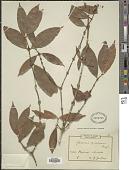 view Garcinia mimfiensis Engl. digital asset number 1
