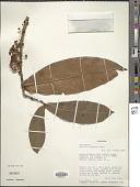 view Garcinia staudtii Engl. digital asset number 1