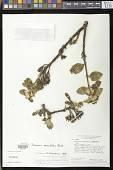 view Paliavana sericiflora Benth. digital asset number 1