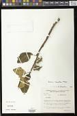 view Paliavana tenuiflora Mansf. digital asset number 1