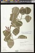 view cf. Sinningia cardinalis (Lehm.) H.E. Moore digital asset number 1