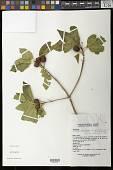 view Hintonia latiflora (Sessé & Moc. ex DC.) Bullock digital asset number 1
