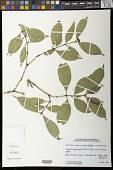 view Psychotria muscosa subsp. breviloba Steyerm. digital asset number 1