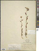view Helianthemum canadense (L.) Michx. digital asset number 1