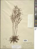 view Lechea racemulosa Michx. digital asset number 1