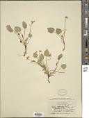 view Viola drepanophora Greene digital asset number 1