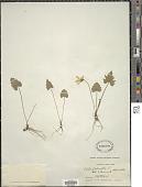 view Viola palmata L. digital asset number 1