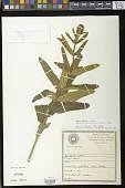 view Sinningia allagophylla (Mart.) Wiehler digital asset number 1
