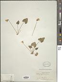 view Viola papilionacea Pursh digital asset number 1