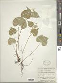 view Viola canadensis L. digital asset number 1
