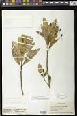 view Gesneria ferruginea (C. Wright in Sauvalle) Urb. digital asset number 1