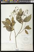 view Gesneria pedunculosa (DC.) Fritsch digital asset number 1