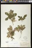 view Gesneria reticulata (Griseb.) Urb. digital asset number 1