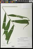 view Ptychosperma burretianum Essig digital asset number 1