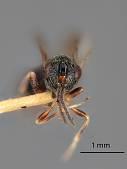 view Eurytoma bruneipennis Crawford, 1910 digital asset number 1