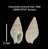 view Columbella (Astyris) profundi Dall, 1889 digital asset number 1