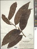 view Casearia javitensis Kunth digital asset number 1