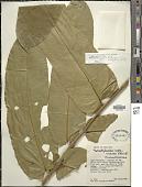 view Tetrathylacium macrophyllum Poepp. & Endl. digital asset number 1