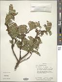 view Aphloia theiformis (Vahl) Benn. digital asset number 1