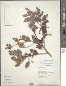 view Homalium axillare (Lam.) Benth. digital asset number 1