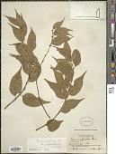 view Casearia sylvestris var. lingua (Cambess.) Eichler digital asset number 1