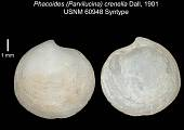 view Phacoides (Parvilucina) crenella Dall, 1901 digital asset number 1